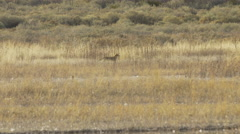 Coyote Stalks Through the Tall Grass Next To Marsh Stock Footage