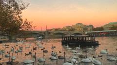 Swans between Karluv and Manesuv bridges, Vltava river Stock Footage