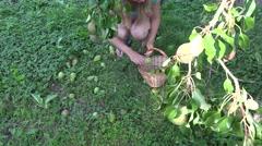 Gardener woman picking windfall pears to wicker basket under fruiter tree.  4K Stock Footage