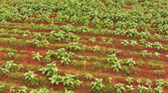 Aerial shot on tobacco plantation of Thailand Stock Footage