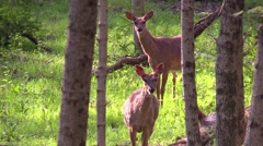 Two Whitetail deer does standing in green grass in forest Stock Footage