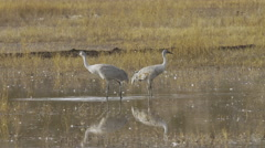 Sandhill Cranes Stand Above Their Reflections - stock footage