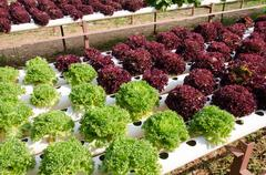 Hydroponic vegetables Stock Photos