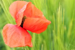 Red poppy flower with dew drops spring season Stock Photos
