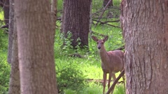 Whitetail does in hardwood forest Stock Footage