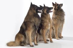 Three dogs, Belgian Shepherd Tervuren, sitting, isolated Stock Photos