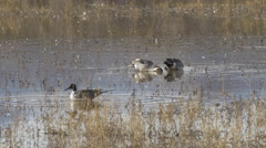 Pintail Ducks Dabble in Shallow Marsh in Afternoon Stock Footage