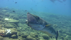 Great barracuda (Sphyraena barracuda) getting cleaned, from front to side - stock footage
