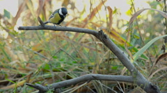 Great Tit, Parus Major. Are flied in search of sunflower seeds Stock Footage