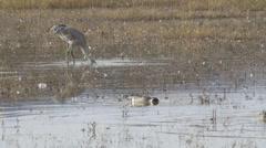 Pintail Ducks Feed Near Sandhill Cranes Stock Footage