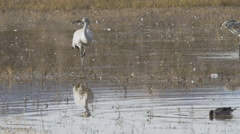 Sandhill Crane and Pintail Feed Together Stock Footage