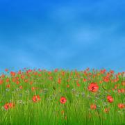 Corn poppy flowers against blue sky - stock illustration