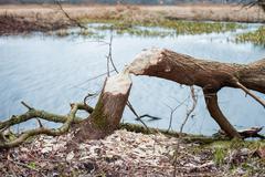 Tree felled by beavers Stock Photos