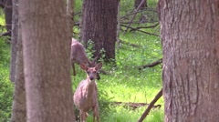 Whitetail deer doe and button buck Stock Footage