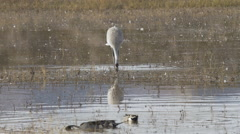 Sandhill Crane Probes Mud for Food Stock Footage