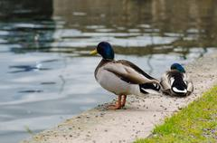 Ducks in the city park - stock photo