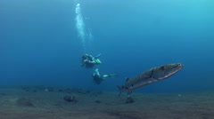 Great barracuda (Sphyraena barracuda) hovering with divers in the background - stock footage