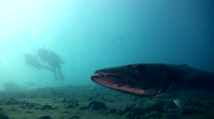 Great barracuda (Sphyraena barracuda) hovering with divers in the background Stock Footage