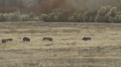 Javelina Family Feeds in Meadow Stock Footage