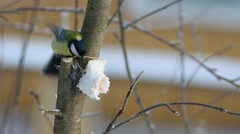 Great Tit  (Parus major)  pecks piece of bacon Stock Footage