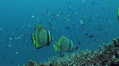 Shaded batfish (Platax pinnatus) and batavia batfish together Stock Footage