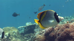 Pig-face or Spot-nape butterflyfish (Chaetodon oxycephalus) Stock Footage