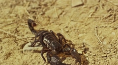 Scorpion running on ground, Shot on RED EPIC DRAGON Digital Cinema Camera. - stock footage