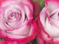 beautiful flowers of crimson roses - stock photo