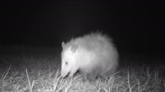 Opossum Stock Footage