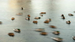 Ducks in pond town. Smooth blurred motion.  Timelapse shot. Stock Footage