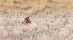 Beautful fox on the meadow HD. - stock footage