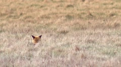 Beautful fox on the meadow HD. Stock Footage