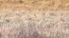 Beautful fox on the meadow HD. Stock Footage