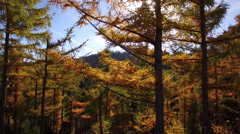 Aerial - Moving up the colorful larch Stock Footage