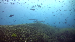 Huge field of acropora staghorn coral with cloud of damselfishes Stock Footage