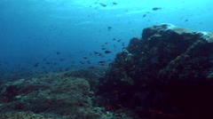 Field of hard coral full of tropical reef fishes Stock Footage