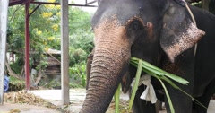Elephant eats bamboo Pai, Northern Thailand, Mae Hong Son Stock Footage