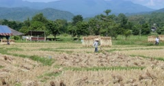 Men carrying straw in agriculture field Pai, Northern Thailand, Mae Hong Son Stock Footage