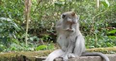 Monkey sits in Monkey Forest Ubud, Bali Stock Footage