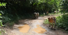 Cows walk on road Pai, Northern Thailand, Mae Hong Son Stock Footage