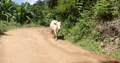 Cow walk on road Pai Northern Thailand Mae Hong Son Stock Footage