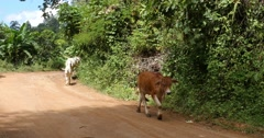 Cows walk on road Pai Northern Thailand Mae Hong Son Stock Footage