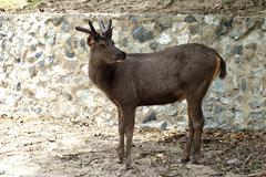male brow antlered deer - stock photo