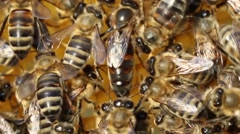 Queen bee lays eggs in the cell Stock Footage