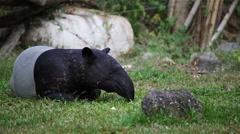 Malayan Tapir or Tapirus Indicus, lay down or sleeping for resting Stock Footage