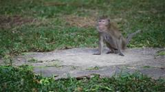 Wild rhesus monkey in natural sitting, chewing, looking around Stock Footage