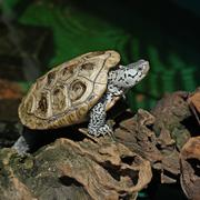 Diamondback terrapin tortoise Stock Photos