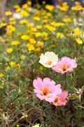 Portulaca grandiflora Stock Photos