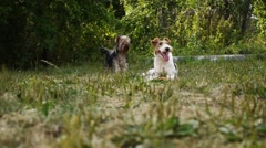 Fox terrier fighting over an orange plastic bowl Stock Footage