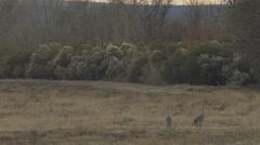 Skunk Walks Along Road towards Sandhill Cranes - stock footage